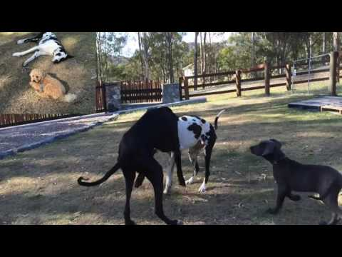 How to make GREAT DANES FOOD- RAW MEAT KIBBLE BLEND – DIY Dog Food by Cooking For Dogs