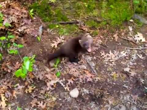 Fisher Cat Cry