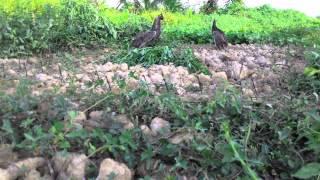 ครืนดักนกอีลุ้ม p4 0849136883 บังรี