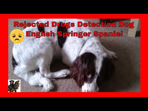 Springer Spaniel Archie - Reject Detection Dog