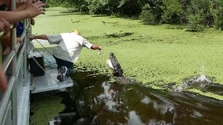 Alligator Swamp Tour in Louisiana (HD)