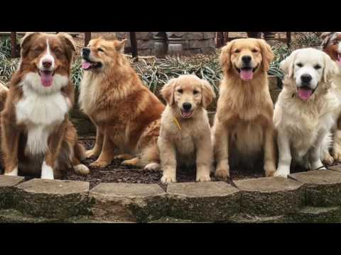 KeenDog Golden Retriever Puppy Training: What To Expect