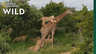 Rare Video Shows Lion Pride Try to Slay a Full-Grown Giraffe | Nat Geo Wild