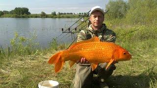 Карпфишинг золотая рыбка