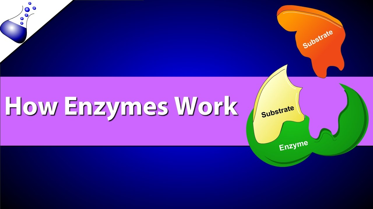 how enzymes work youtube