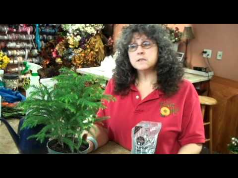How to take care of your Norfolk Pine