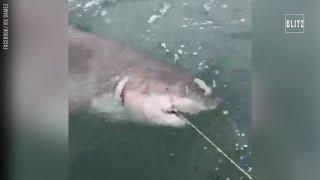 Battuta di pesca da urlo: abbocca lo squalo bianco