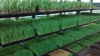 hydroponic fodder of AQUA  GREEN HYDROPONIC FODDER SOLUTION ,INDIA