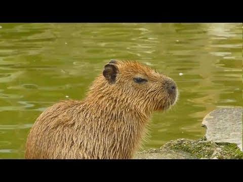 Child capybara is chased by monkeys (仔カピバラ危機一髪)
