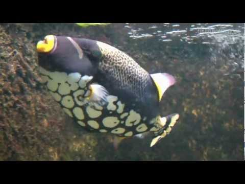 [HD] Merry Christmas With Triggerfish / Drückerfische @ Aquazoo [23/52]