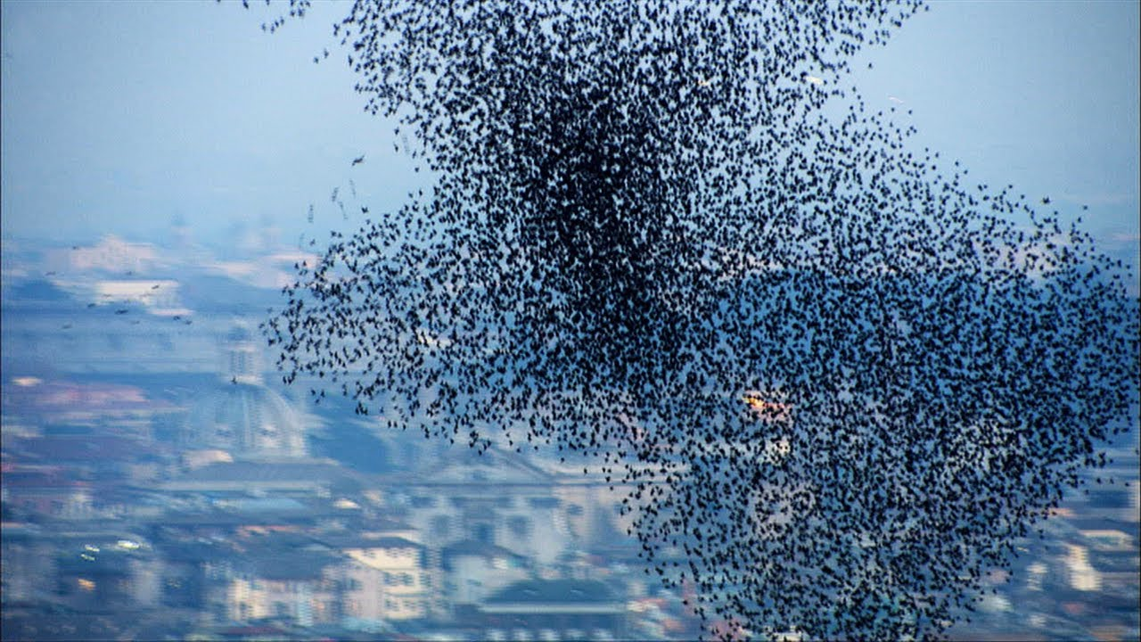 Starlings Swarming Over Rome