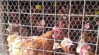 Poultry Farming In Uganda Okulunda Enkoko Zamagi Kuku