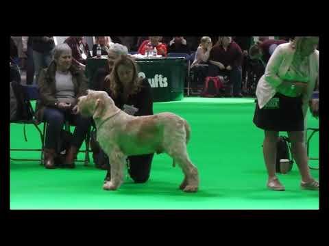 Gradevole Giovana (Morris) winning the Italian Spinone Dog CC at Crufts 2020