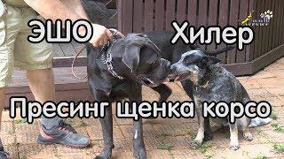 Прессинг щенка кане корсо, ЭШО и ХИЛЕР