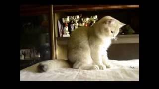 Ru-Star Fold Golden Nastya. Шотландские золотистые котята питомник Ru-Star Fold