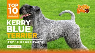 Kerry Blue Terrier  Kerry Blue Terrier Dog Breed  Top 10 facts about the Kerry Blue Terrier
