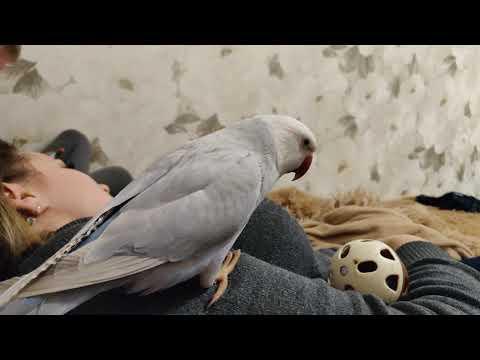 Умный ожереловый попугай Сеня