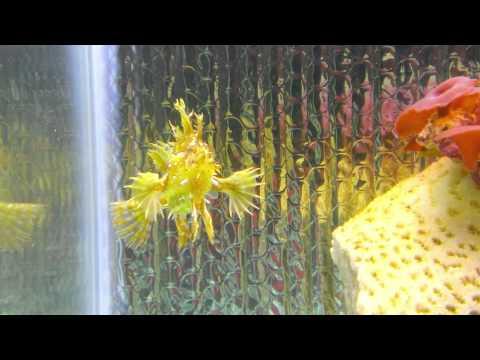 Sargassum Angler Frog Fish Feeding