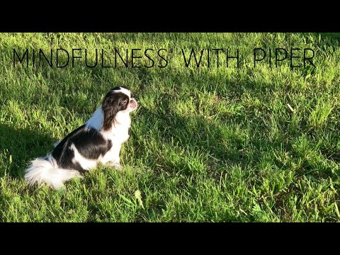 Mindfulness with Piper the Japanese Chin