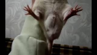 Про крыс - грусть, печаль (рак яичка?)