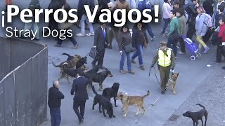 BurgmanChileTV - Ataque de Perros Vagos a Carabinero - Stray Dogs Attack to Policeman