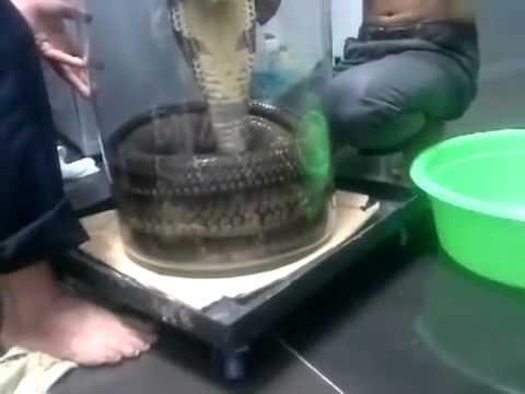 Rắn hổ mang 30kg tai việt nam