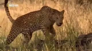 Леопарды Ботсваны Супер хищники BBC