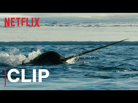 Our Planet | Narwhals | Clip | Netflix