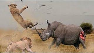 ライオンファイト対サイ 最も驚くべき野生動物の攻撃.