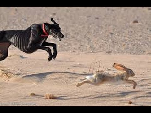 Desert hunting by saluki #Natural Life - YouTube
