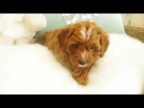 Sookie's Toy Cavoodle Boy 3601- Pocket Puppies