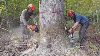 Abattage dernier gros chêne / Stihl ms661c