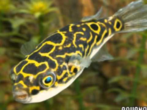Los 6 mejores peces que ahi que comprar youtube for Peces de acuario agua dulce fria