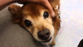 Meet Copper, A 9-year Old Pomeranian Mix At Muttville!