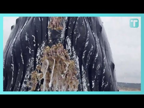 Whale Breaches On Boat Scraping Off Barnacles