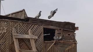 أسرار الحمام الزاجل...ج٣ تحديد المسافات مع الغاوي أحمد المجدوب #لقاء_مع_غاوي Egyptian pigeons