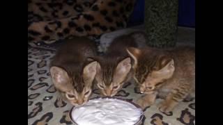 Котята породы оцикет EmiBell*RU cattery (Litter D) кушают творожок