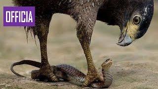 Самых Удивительных Диких Животных Атакует Орла Атаки Орла Против Волка, Змеи, Коза