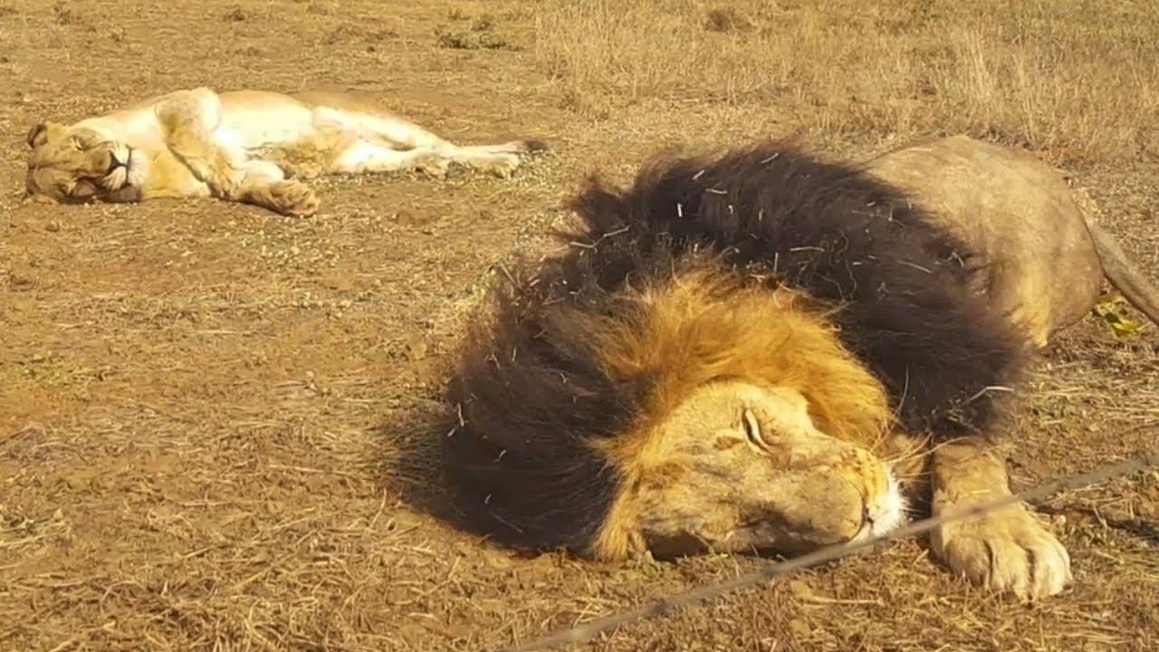 sanctuary-life-the-lion-whisperer