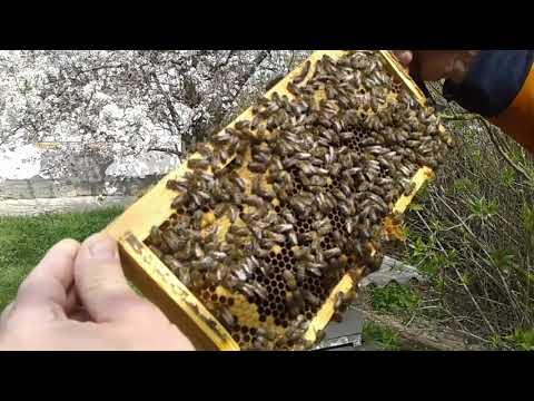Стремительное развитие пчелосемей в малоформатных ульях.
