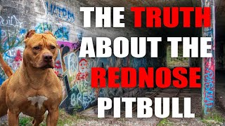 THE RED NOSE AMERICAN PITBULL TERRIER