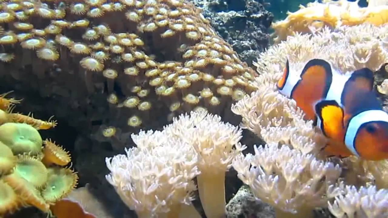 Sri Lanka Coral Reef Enrichment Program Launched By Live Tropical Fish Exporters Youtube