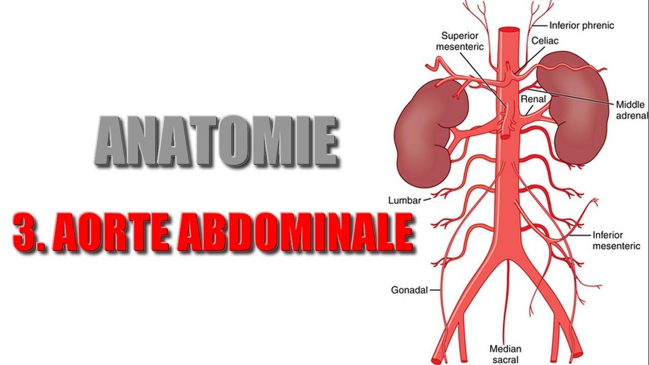 ANATOMIE - Gros vaisseaux de l\'abdomen - 3) AORTE ABDOMINALE - YouTube
