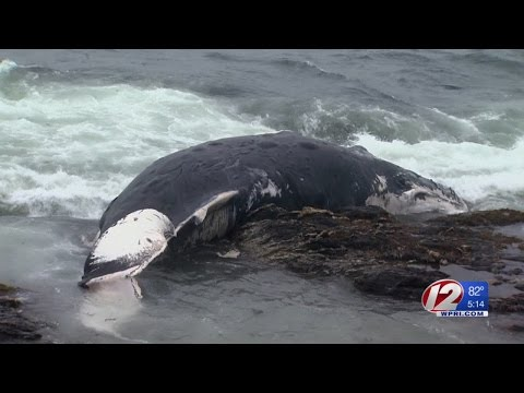 Beached Whale found in Jamestown