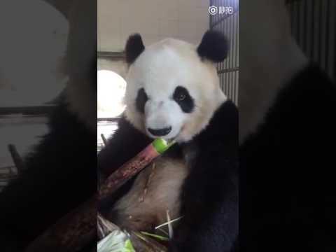 Gấu trúc ăn măng (Panda eat bamboo shoots)