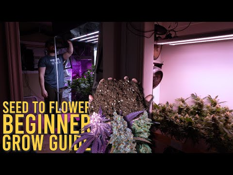 GROWING SEED TO FLOWER (HOMEGROWN ORGANIC CANNABIS)