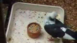 Some Symptoms of Pigeon Paramyxovirus