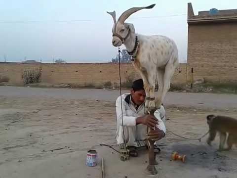 Funny Goat Very Funny Video Clips Funny Pranks Pakistani Funny Videos