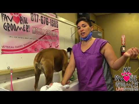 how-to-groom-a-boxer-how-to-groom-a-yorkie---saturday-live-with-my-favorite-groomer