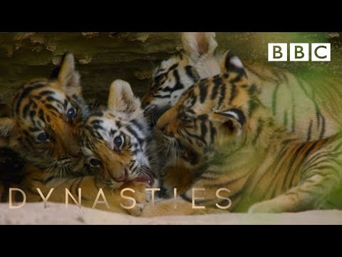 Tiger cubs play at the den | Dynasties - BBC